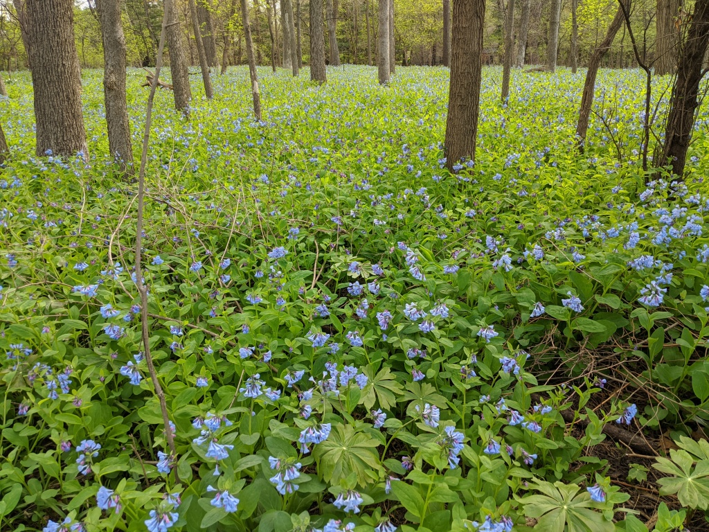 Woodland field of Virginia Bluebells