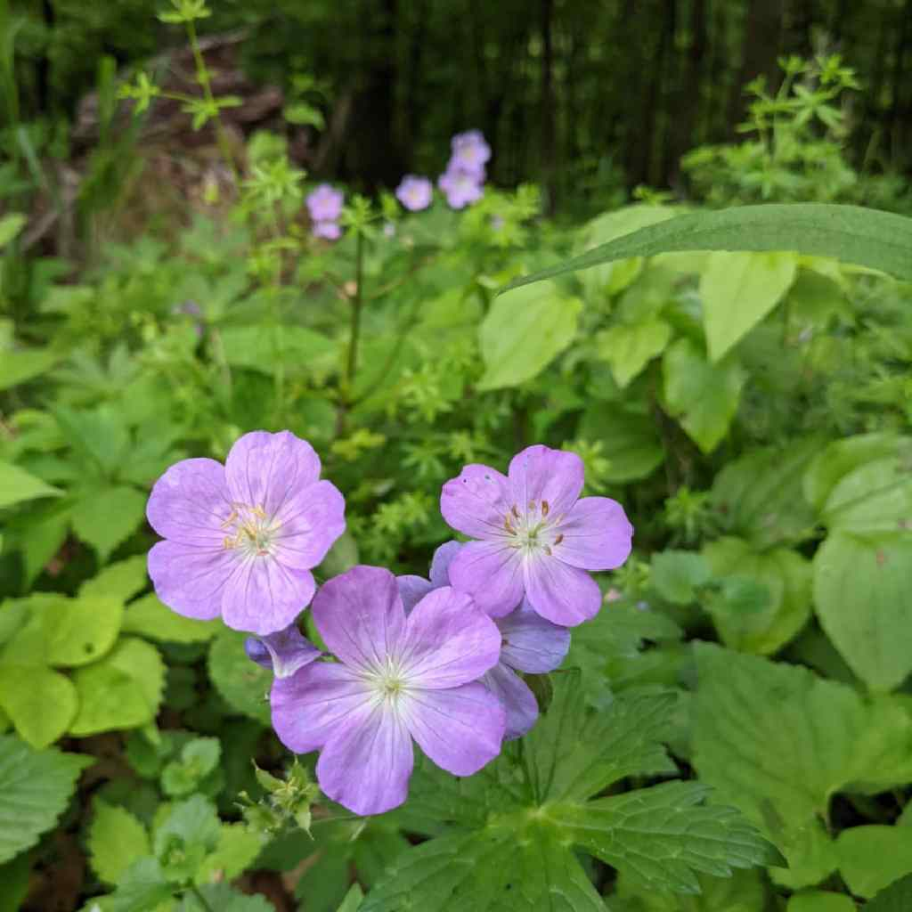 Close up of wild geraniums in a woodland