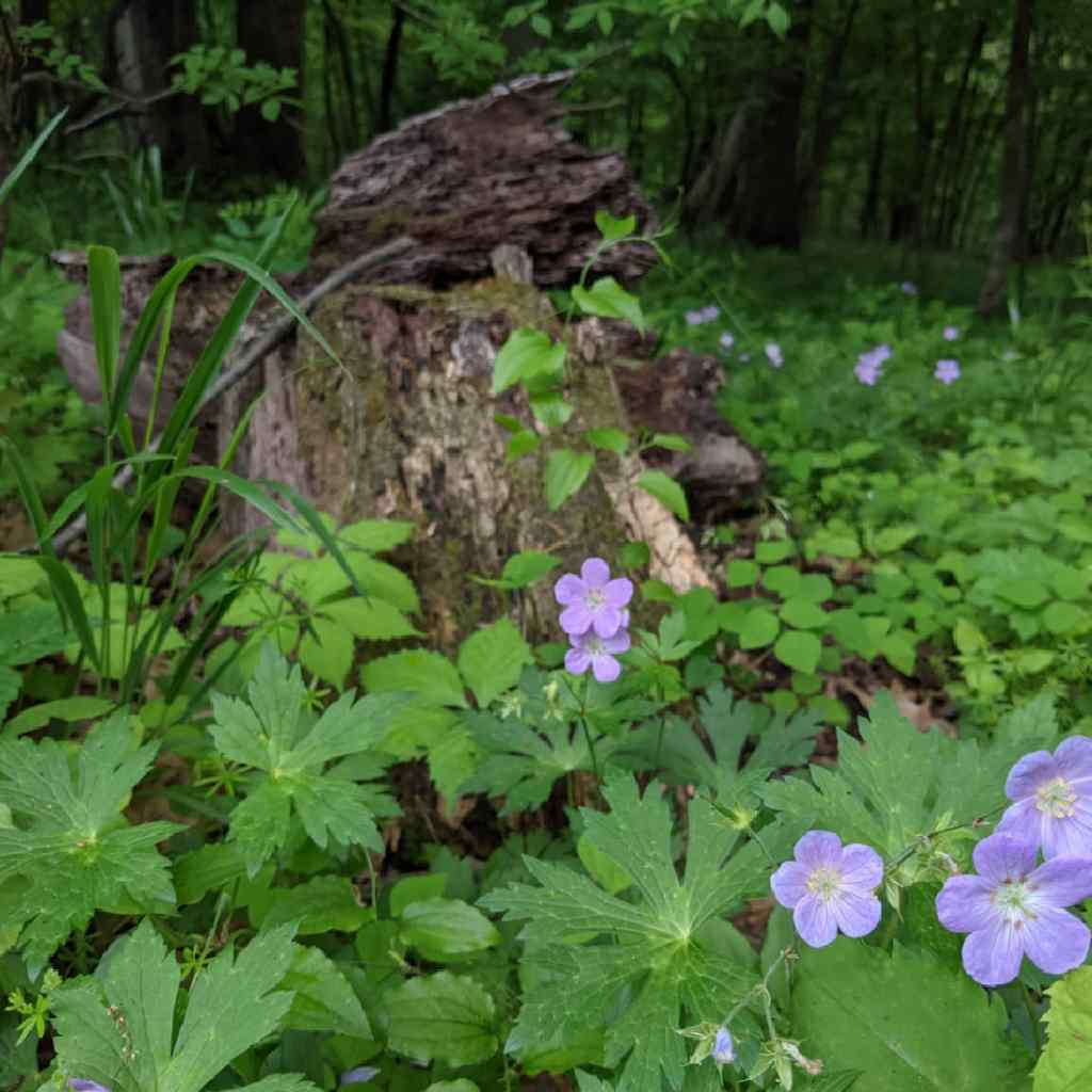 purple wildflowers growing by a decaying stump