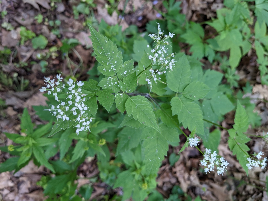 Three-leaved plant with a spray of white flowers