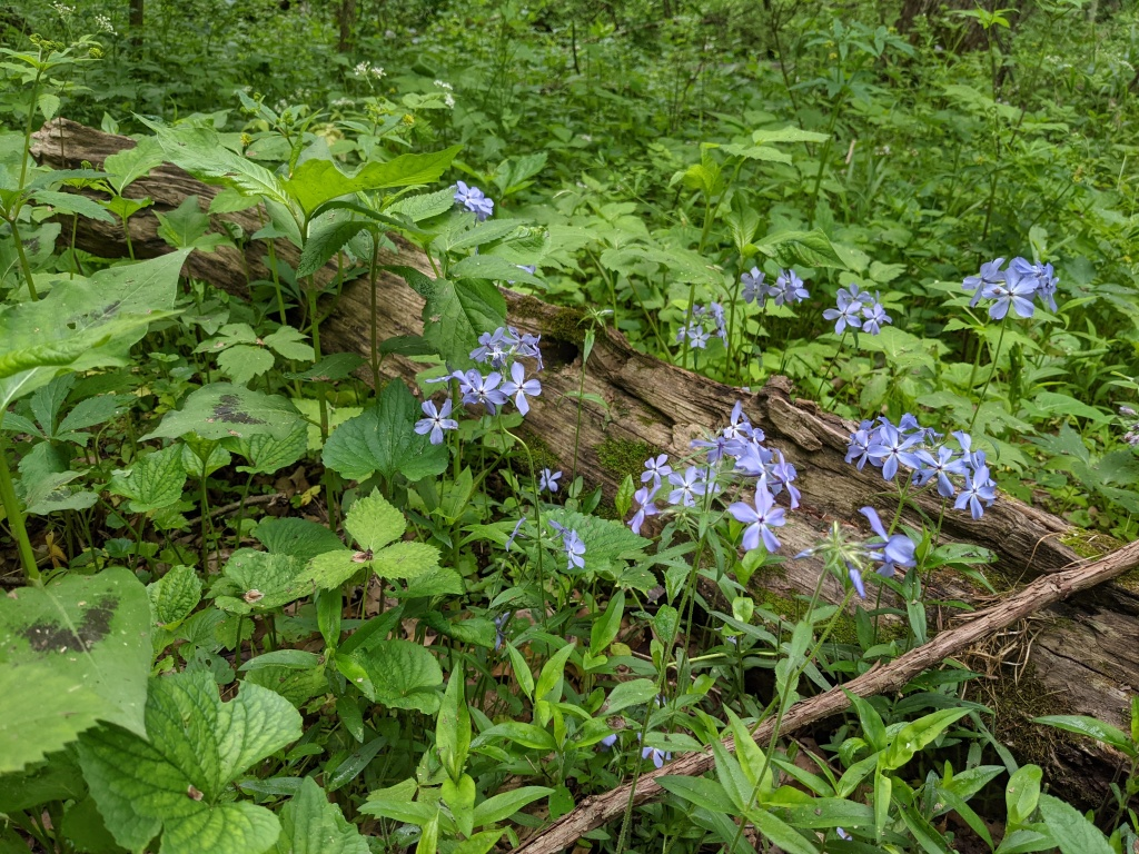 five-petaled purple flowers in clusters on a decaying log