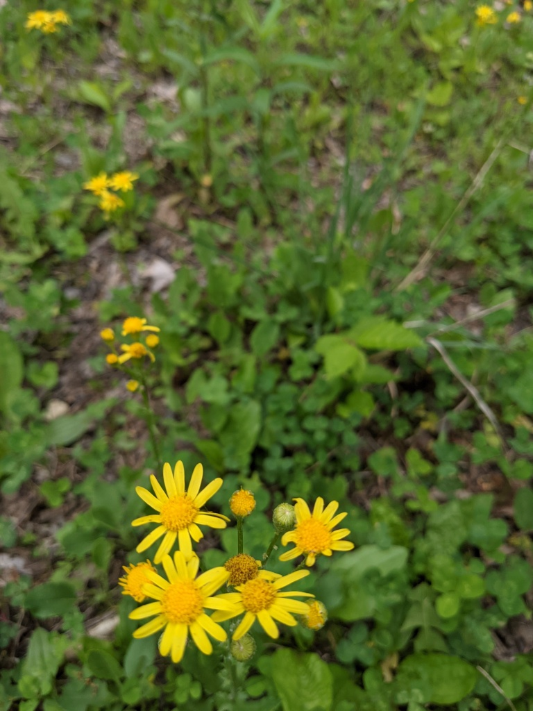 daisy-like flower with yellow petals and yellow leaves