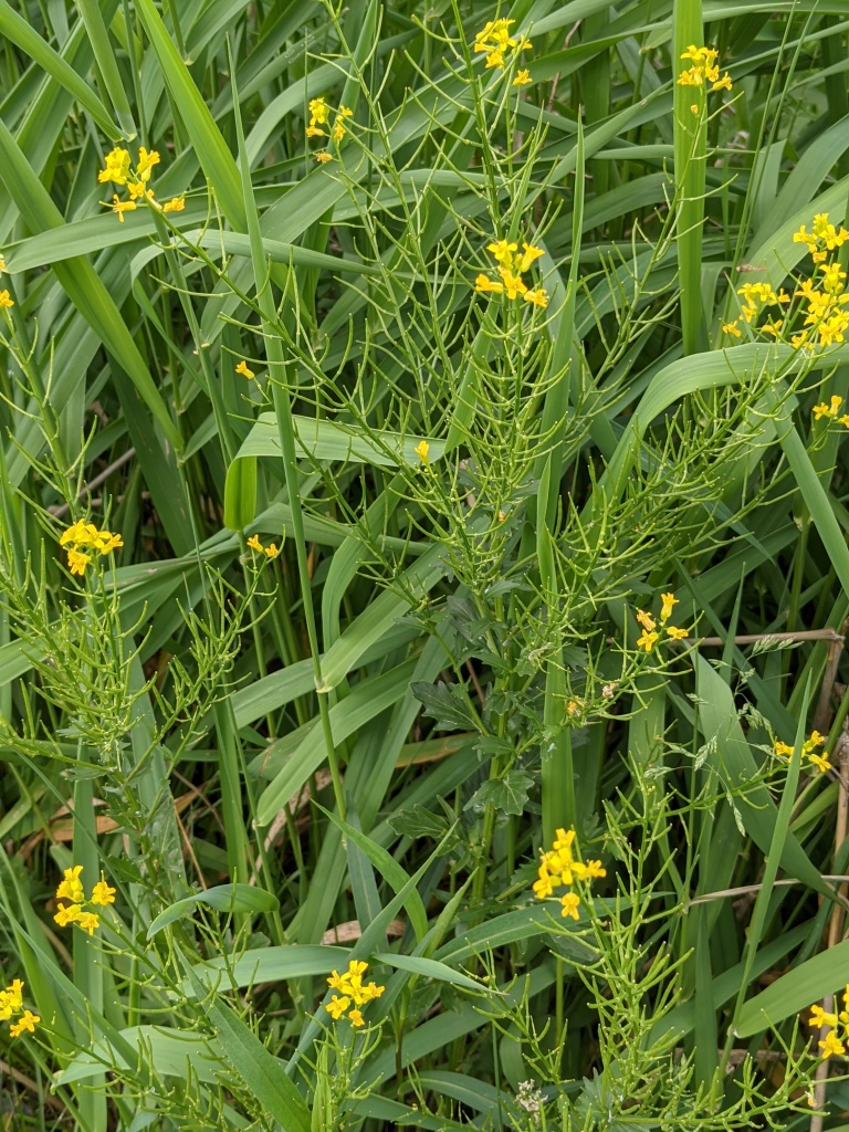 Small 4-petaled yellow flowers atop spiky foliage