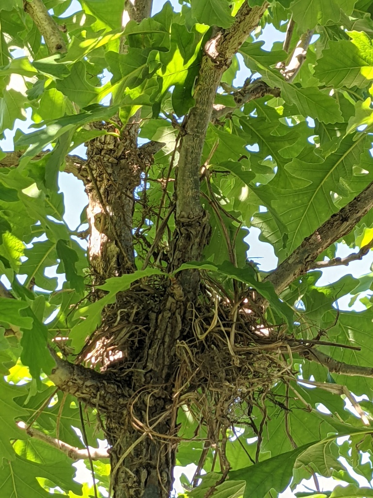 A fledgling robin's nest in the crotch of a bur oak